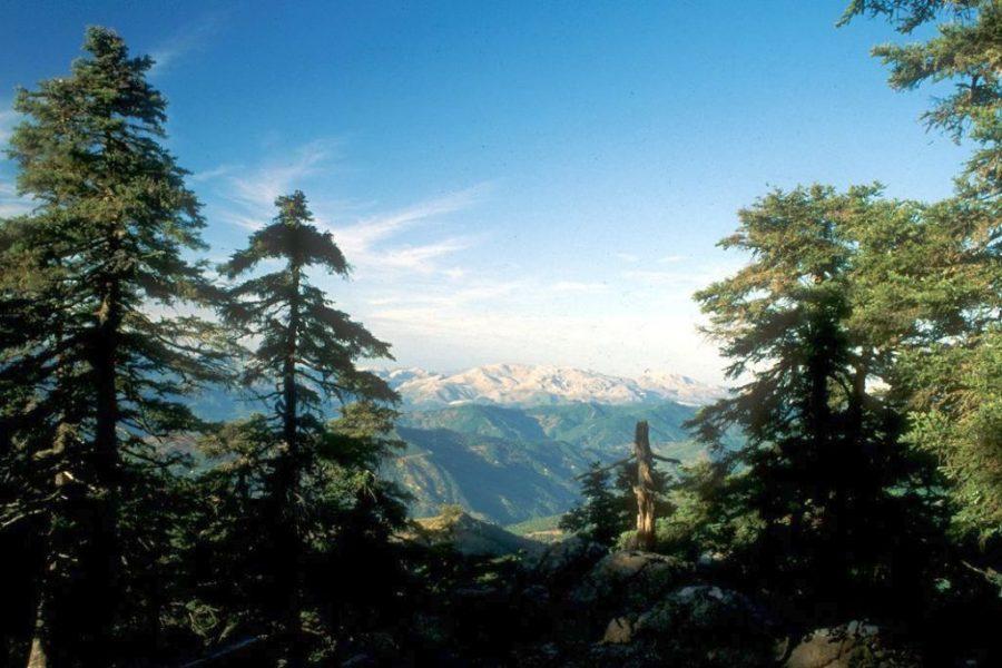 Bosque de pinsapos en el paraje natural de Los Reales.