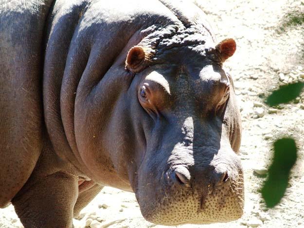 Hipopótamo en Selwo.
